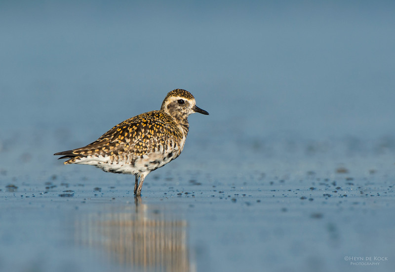 Pacific Golden-plover, Shoalhaven Heads, NSW, March 2013.jpg
