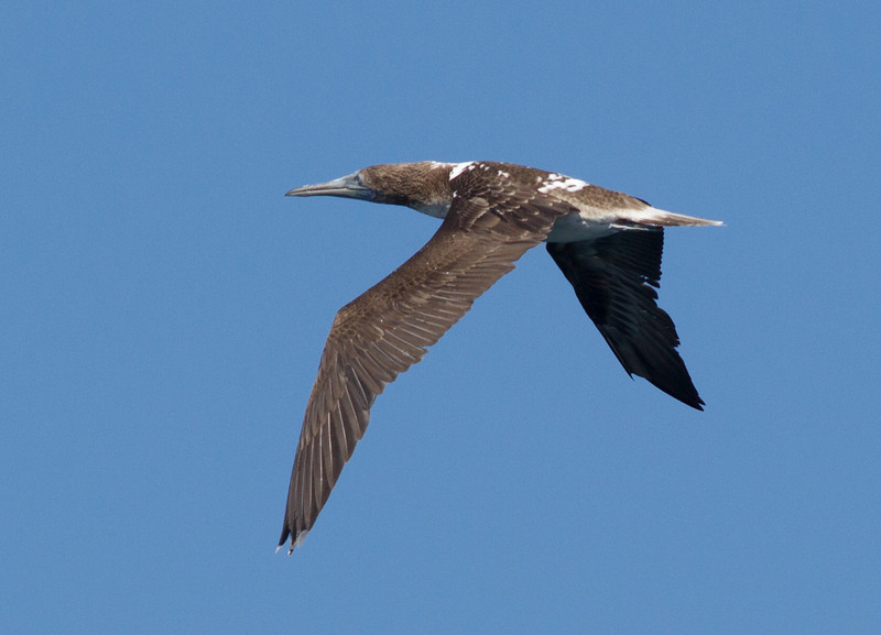 Blue-footed  Booby  Mexican Waters 2013 10 14-2.CR2\