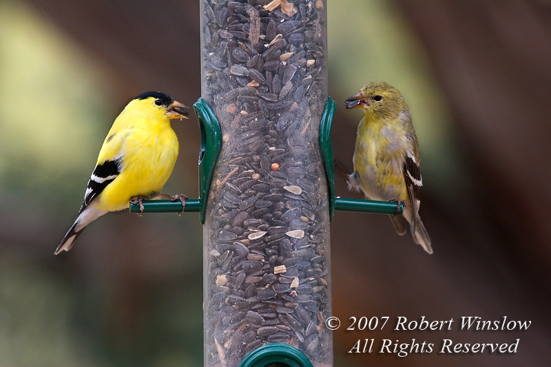 Breeding Pair of American Goldfinches, Carduelis tristis, at a Birdfeeder containing Sunflower Seeds, La Plata County, Colorado, USA, North America, Order Passeriformes, Family Fringillidae