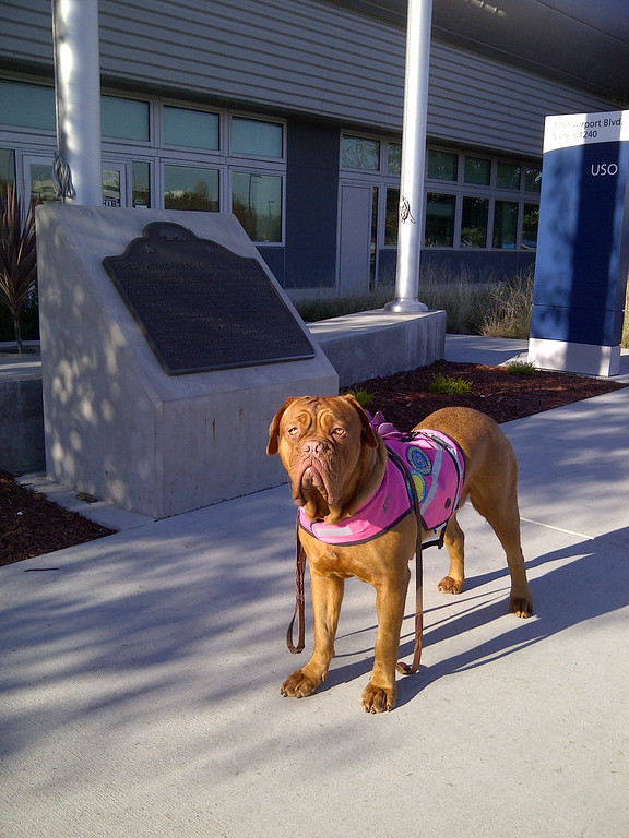 . Tympani is a is a 15-month-old Dogue de Bordeaux  (French Mastiff) who volunteers at the San Jose International Airport with Mechele Oliveira.