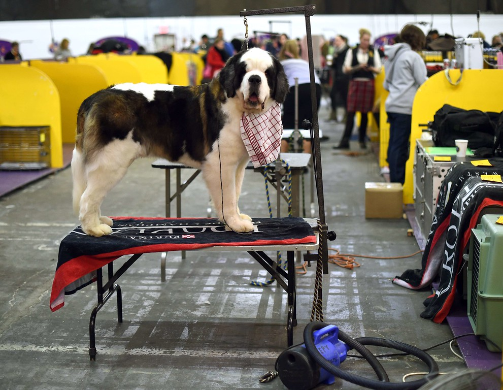 . A Saint Bernard stands in the benching area at Pier 92 and 94 in New York City on the 2nd day of competition at the 139th Annual Westminster Kennel Club Dog Show February 17, 2015. The Westminster Kennel Club Dog Show is a two-day, all-breed benched show that takes place at both Pier 92 & 94 and at Madison Square Garden in New York City.    AFP PHOTO /  TIMOTHY  A. CLARYTIMOTHY A. CLARY/AFP/Getty Images