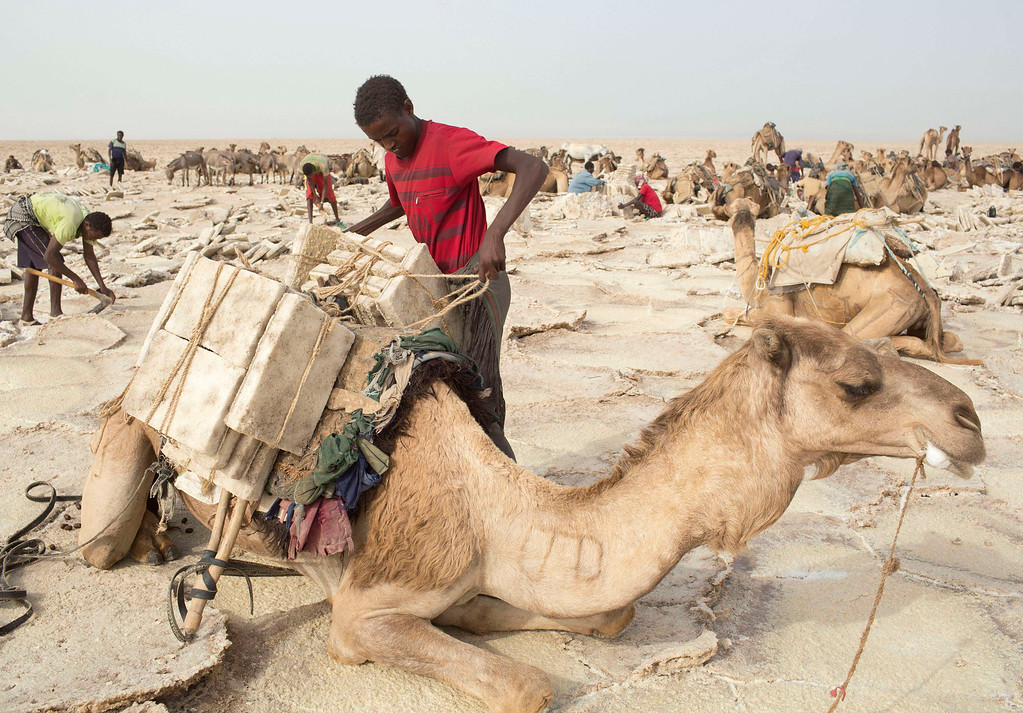 . A worker loads a camel with slabs of salt in the Danakil Depression, northern Ethiopia April 22, 2013. Once the caravan find a suitable place to mine salt, they extract, shape and pack as many salt slabs as possible before starting their two-day journey to the town of Berahile. The Danakil Depression in Ethiopia is one of the hottest and harshest environments on earth, with an average annual temperature of 94 degrees Fahrenheit (34.4 Celsius). For centuries, merchants have travelled there with caravans of camels to collect salt from the surface of the vast desert basin. The mineral is extracted and shaped into slabs, then loaded onto the animals before being transported back across the desert so that it can be sold around the country. Picture taken April 22, 2013. REUTERS/Siegfried Modola