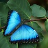 DN - Blue Morpho #2 by Nikki McDonald - 2nd