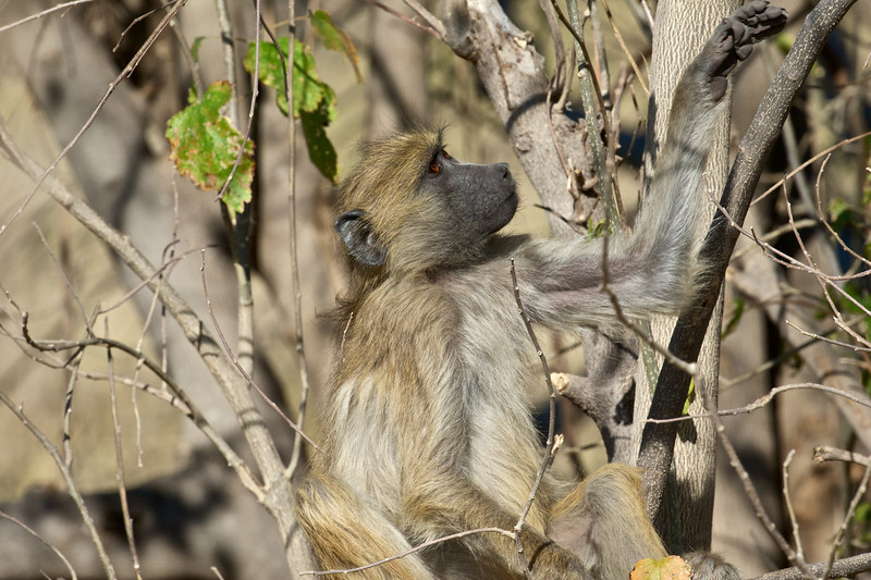 Baboon, Kwando Lagoon, Botswana