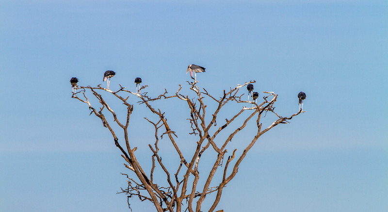 Marabou storks perching on bare tree - East Africa - Tanzania