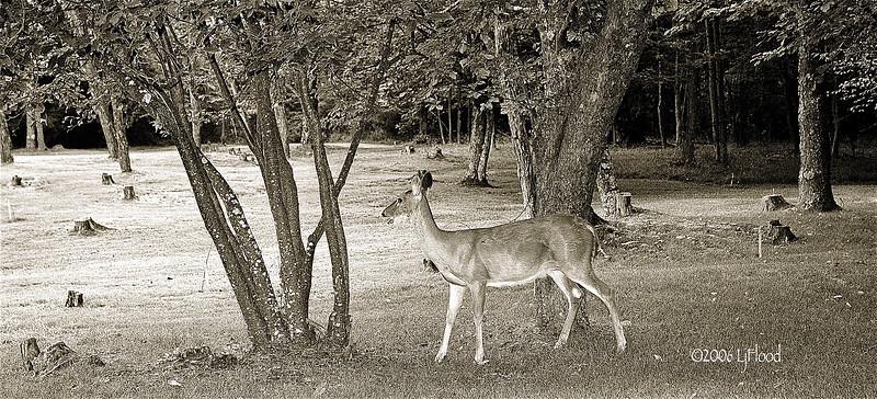 Deer In WV 2006.jpg