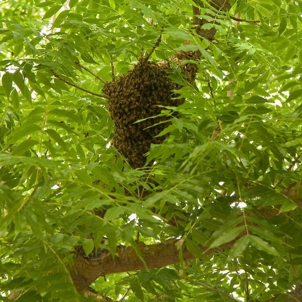 Bee swarm in Walnut Creek