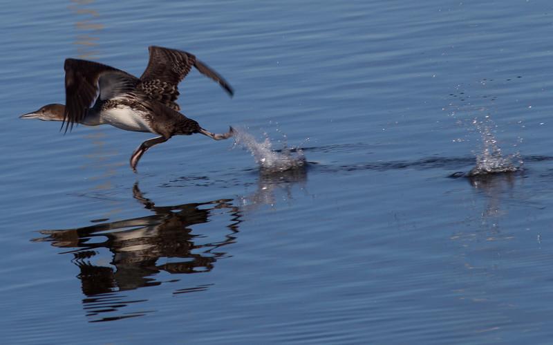 Common Loon  San Luis Rey Oceanside 2013 01 16 (3 of 4).CR2