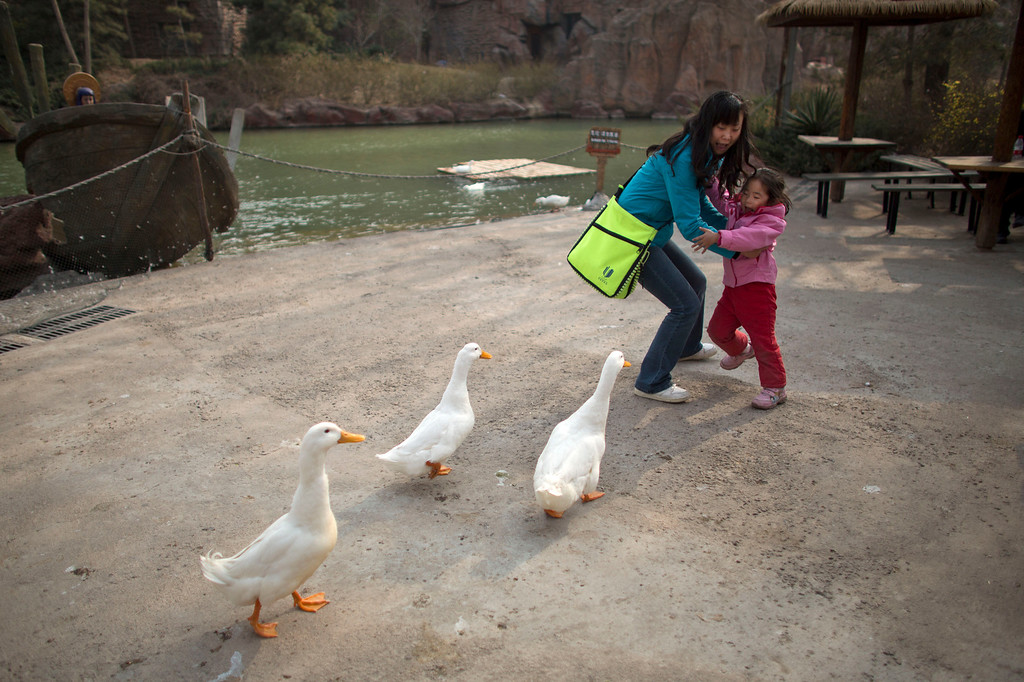 . A woman and her daughter are frightened while ducks approach closely for food at an amusement park in Beijing, China, Wednesday, April 3, 2013. Scientists taking a first look at the genetics of the bird flu strain that recently killed two men in China said Wednesday the virus could be harder to track than its better-known cousin H5N1 because it might be able to spread silently among poultry without notice. The bird virus also seems to have adapted to be able to be able to sicken mammals like pigs. (AP Photo/Alexander F. Yuan)