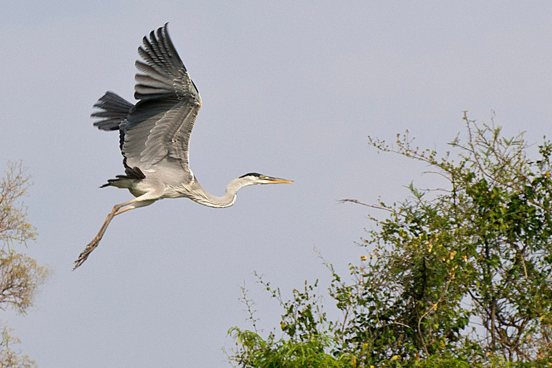 Heron, Northern Pantanal, Brazil