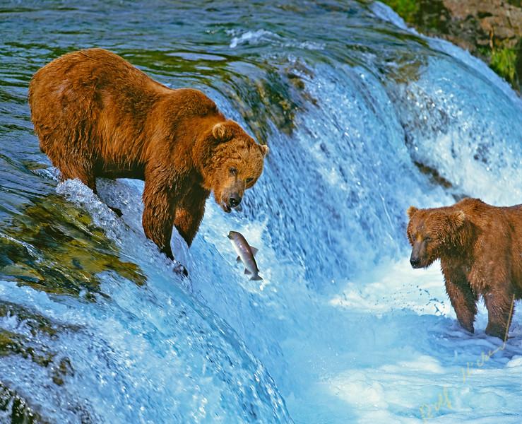 x5_mf_733, Brown bears fishing (Ursus arctos), Katmai National Park, Alaska
