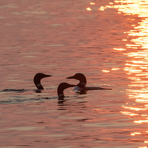 LOONS at SUNSET