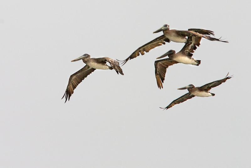 Brown Pelican Squadron