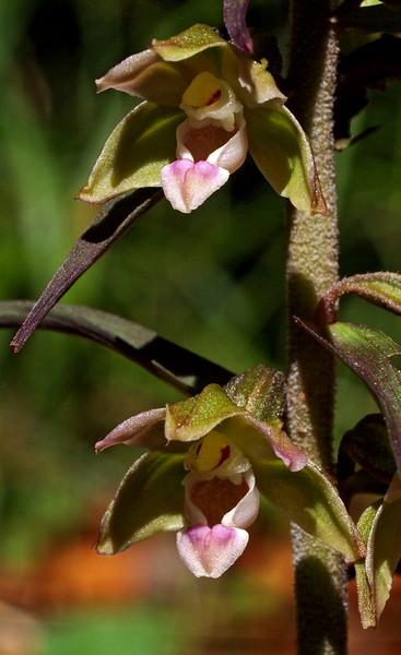E. purpurata Kuttenberg Eschweiler 03-08-15 (14).jpg