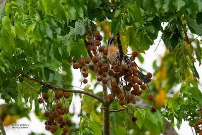 Pacific Koel (Eudynamys orientalis)
