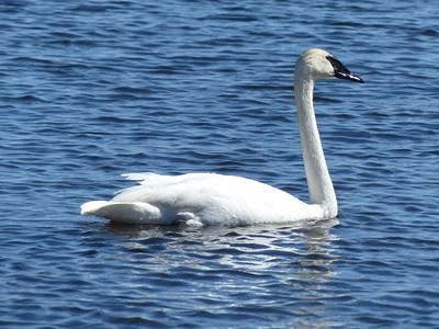 20160403 Trumpeter Swan