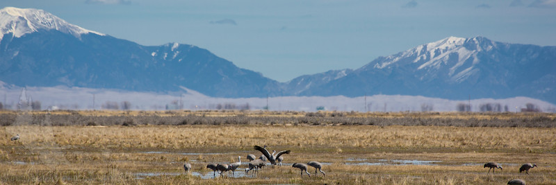Sandhill Cranes in San Luis Valley