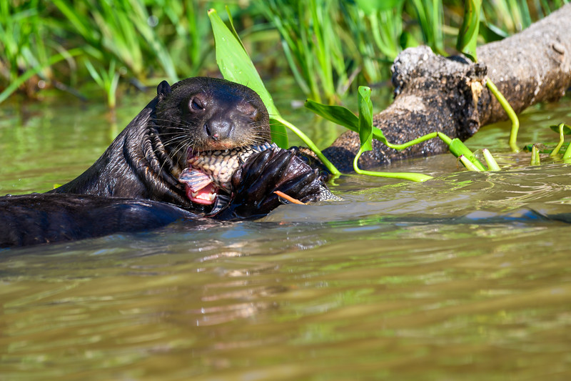 Giant River Otter with catfish.jpg