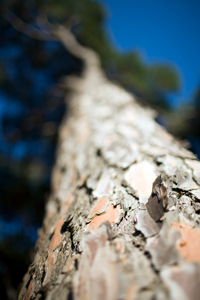Pine tree bark, Seville, Spain