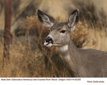 Mule Deer Doe 62350.jpg