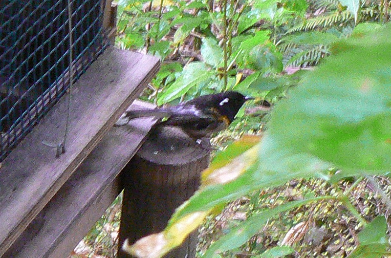 5Stitchbird783 Nov. 22, 2009  10:02 a.m.   P1050783 Stitchbird, Notiomystis cincta, at Tiritiri Matangi