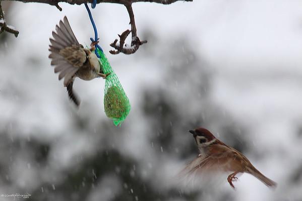 Winter Sparrows — Téli verebek
