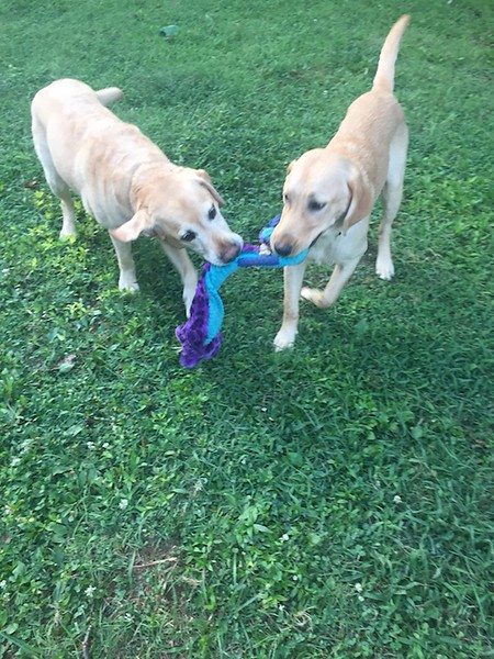 Otto (on the left) Playing with Knox in Charlotte (Photograph by Kevin Lock with Permission)