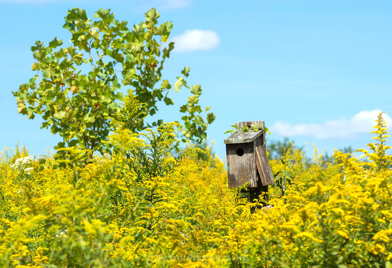 Birdhouse in a Field of Goldenrod