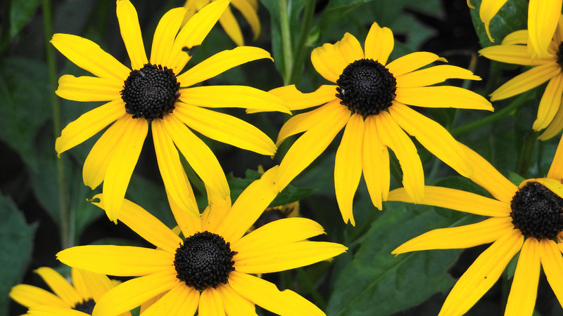 Black Eyed Susans, Watertown, Connecticut
