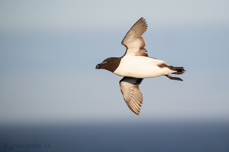 Razorbill flying