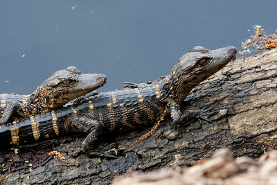 untitled20110202_AlligatorBaby MyakkaLakeFL_7I2B4336_11-02-02