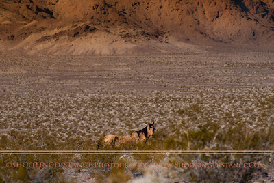 Wild horse, Death Valley