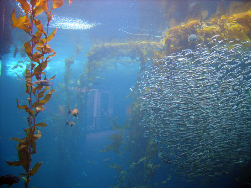 Monterey Bay Aquarium's Giant Kelp Forest is home to many types of fish, including sardines and anchovies.