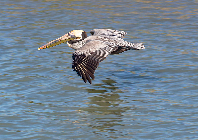 "Brown Pelican in ""ground effect"" flight.  Another View."