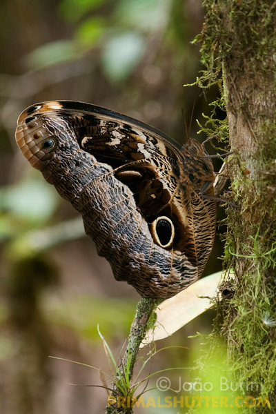 Owl eyed butterfly (Caligo sp.), in Intervales State Park, Brazil. South-east atlantic forest reserve, UNESCO World Heritage Site.