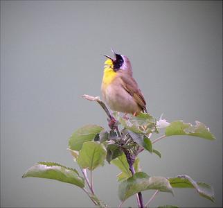 Virginias' Warblers