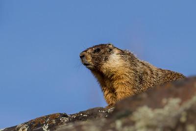 Marmotini (chipmunks, ground squirrels, marmots etc.)