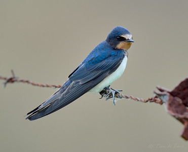 Barn Swallow / Boerenzwaluw / Hirundo rustica