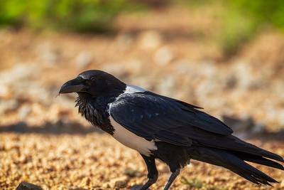 Hvitbrystkråke (Pied crow)