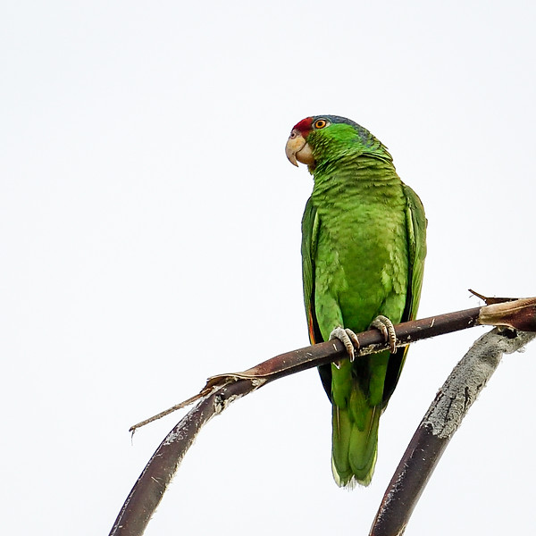Wild Lilac-crowned Parrot