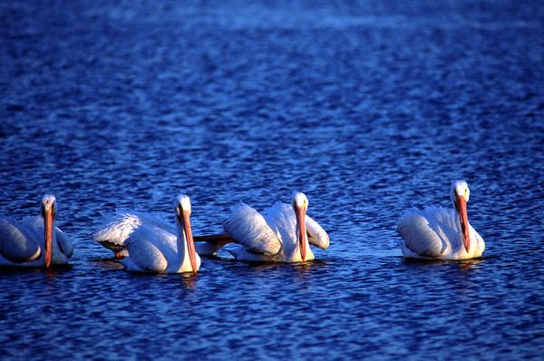 White 4 pelicans TX.jpg
