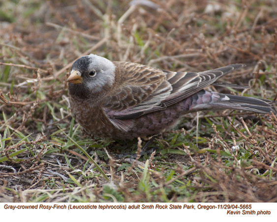 Gray-crowned Rosy-Finch A5665.jpg