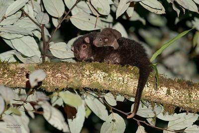 Herbert River Ring-tailed Possum (Pseudochirulus herbertensis)