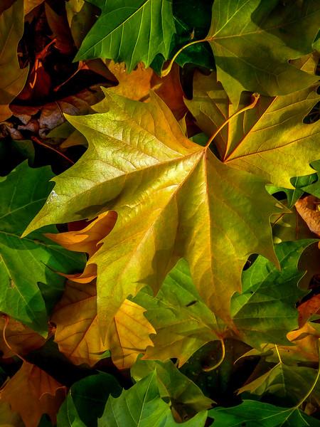 Fall Leaves, Dreamwood Bay, Liberty Lake, Washington