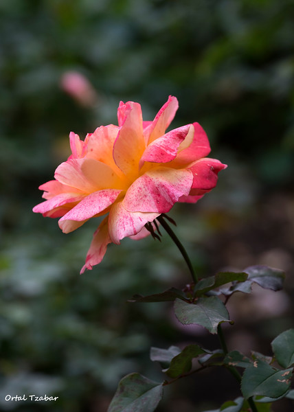 ורד1.jpg