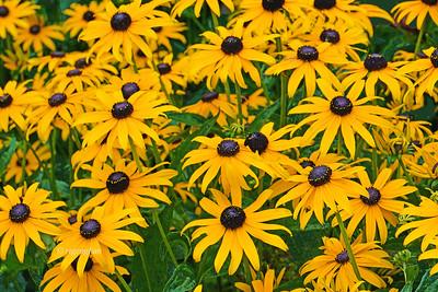 Daisy Family  Flowers