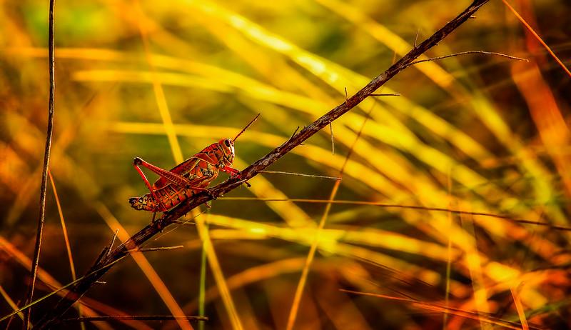 Grasshoppers 37.jpg