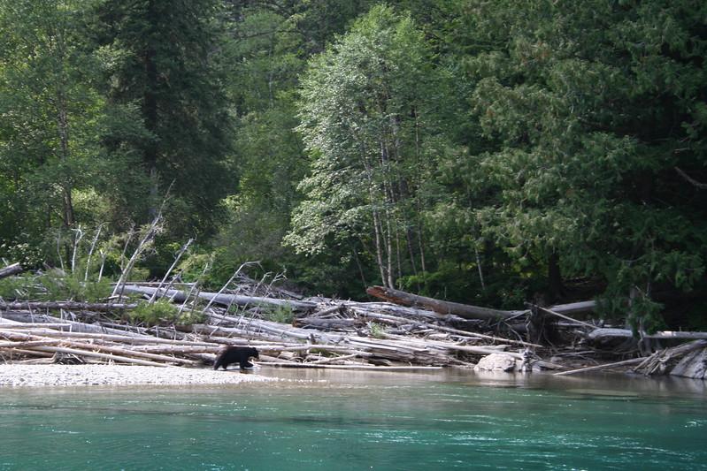 20110827 - 117 - GNP - Black Bear At Swimming Hole Along GTTS Road.JPG