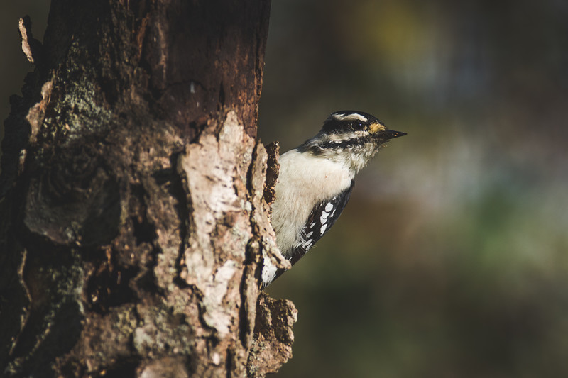 A Downy Woodpecker at the Celery Bog near Purdue University in West Lafayette, Indiana