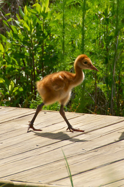 Sandhill Crane Babies 5-8-10